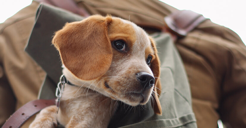 brown and white puppy in backpack